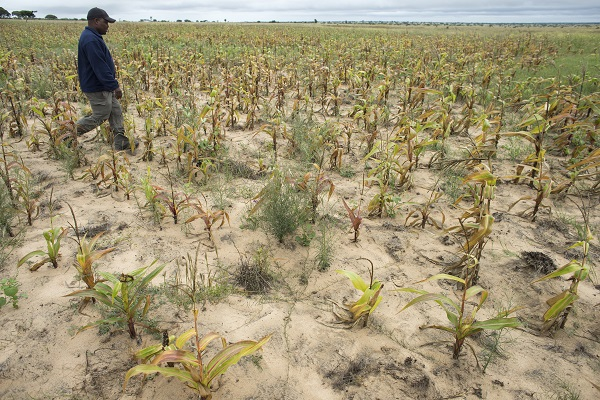 CIMMYT technician Herbert Chipara inspects maize devastated by drought in Mutoko district, Zimbabwe. Photo: P. Lowe/CIMMYT