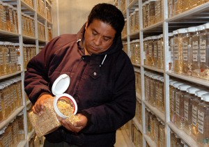 A CIMMYT staff member at work in the maize active collection in the Wellhausen-Anderson Plant Genetic Resources Center. CIMMYT/Xochiquetzal Fonseca