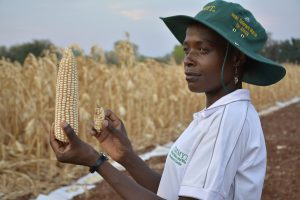 Comparing a new heat and drought-tolerant maize variety in Zimbabwe. CIMMYT/Johnson Siamachira