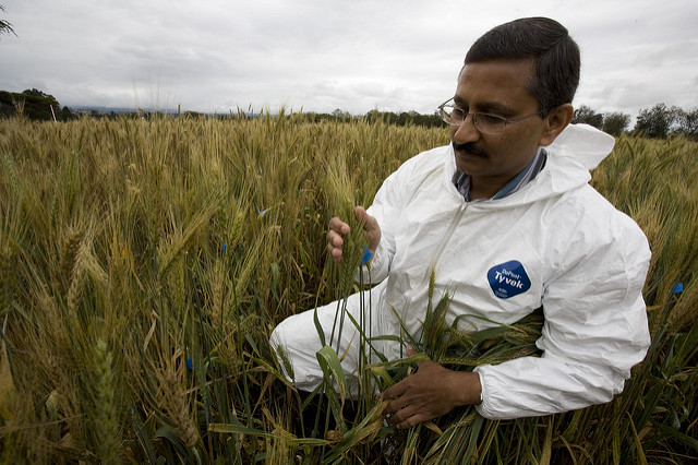 CIMMYT scientist Ravi Singh inspects wheat at the quarantined UG99 wheat stem rust screening nursery in Njoro, Kenya. Photo: D. Hansen/University of Minnesota
