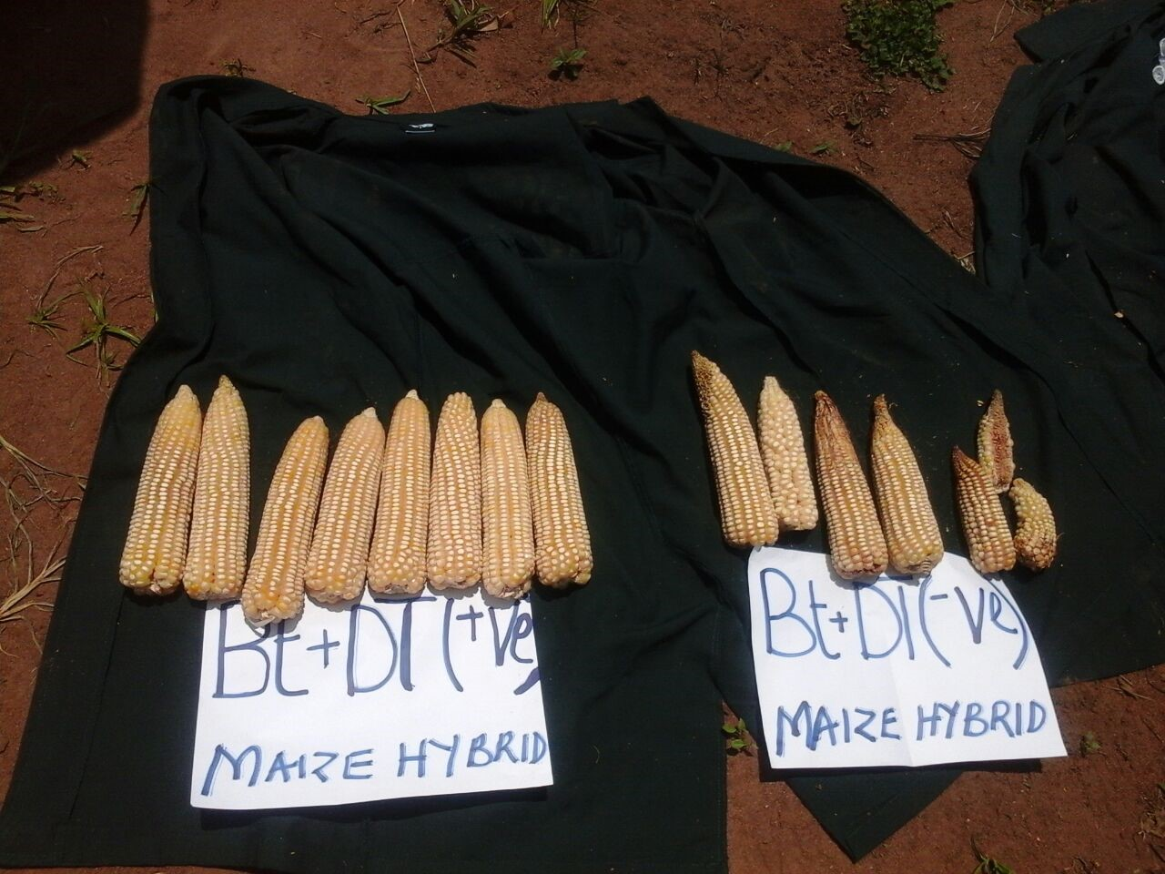 Bt hybrid maize showed better resistance to the stem borer compared to the conventional commercial maize. F. Maritim/KALRO