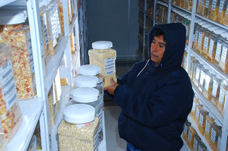 The CGIAR is one of the biggest suppliers and conservers of crop genetic diversity. CIMMYT's genebank contains around 28,000 unique samples of maize seed—including more than 24,000 landraces; traditional, locally-adapted varieties that are rich in diversity—and 150,000 of wheat, including related species for both crops. Photo: X. Fonseca/CIMMYT.