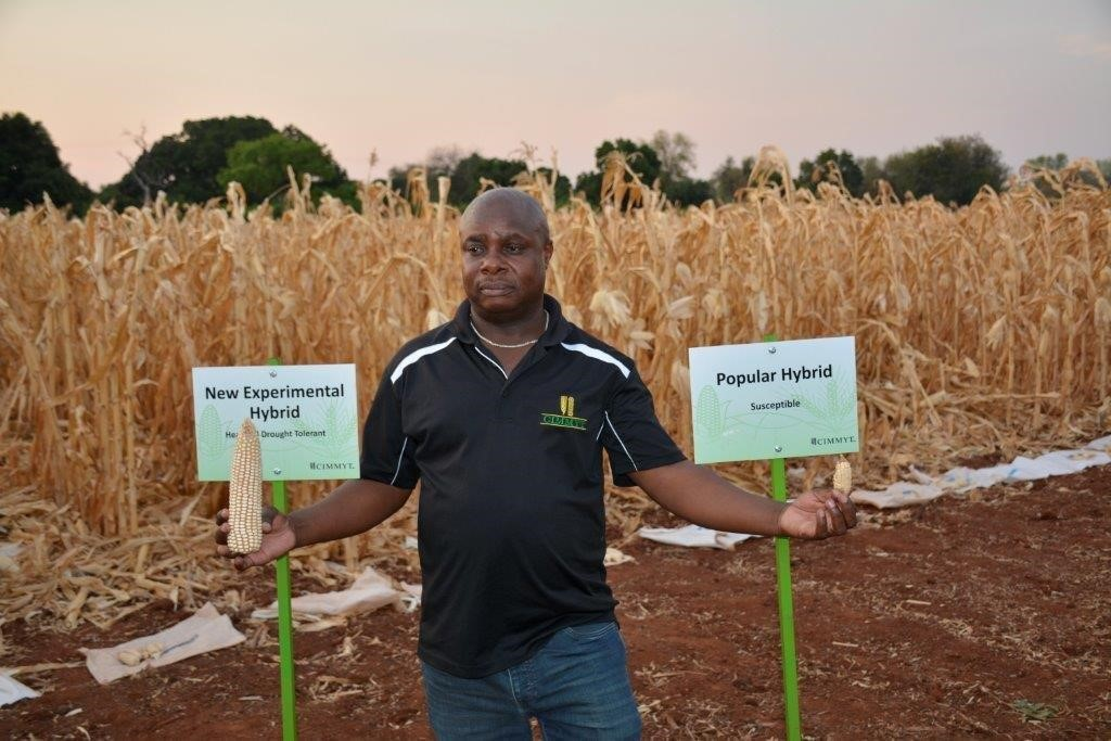 Cosmos Magorokosho, CIMMYT senior maize breeder, with new experimental hybrid maize on display at the Chiredzi Research Station, Zimbabwe. Scientists here have developed new heat- and drought-tolerant maize varieties. Photo: J. Siamachira/CIMMYT