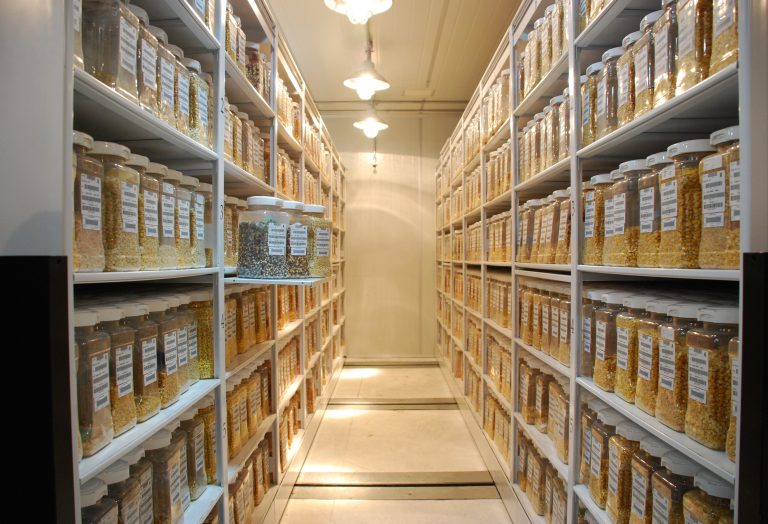Maize collections held at the CIMMYT genebank in Mexico. Photo: CIMMYT