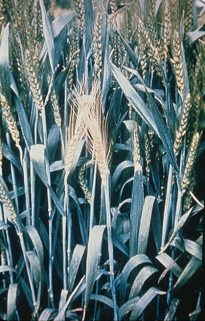 """Wheat showing the """"white head"""" condition typically produced by stem-boring insects, in this case caused by wheat stem maggot (Meromyza americana). Photo: CIMMYT"""