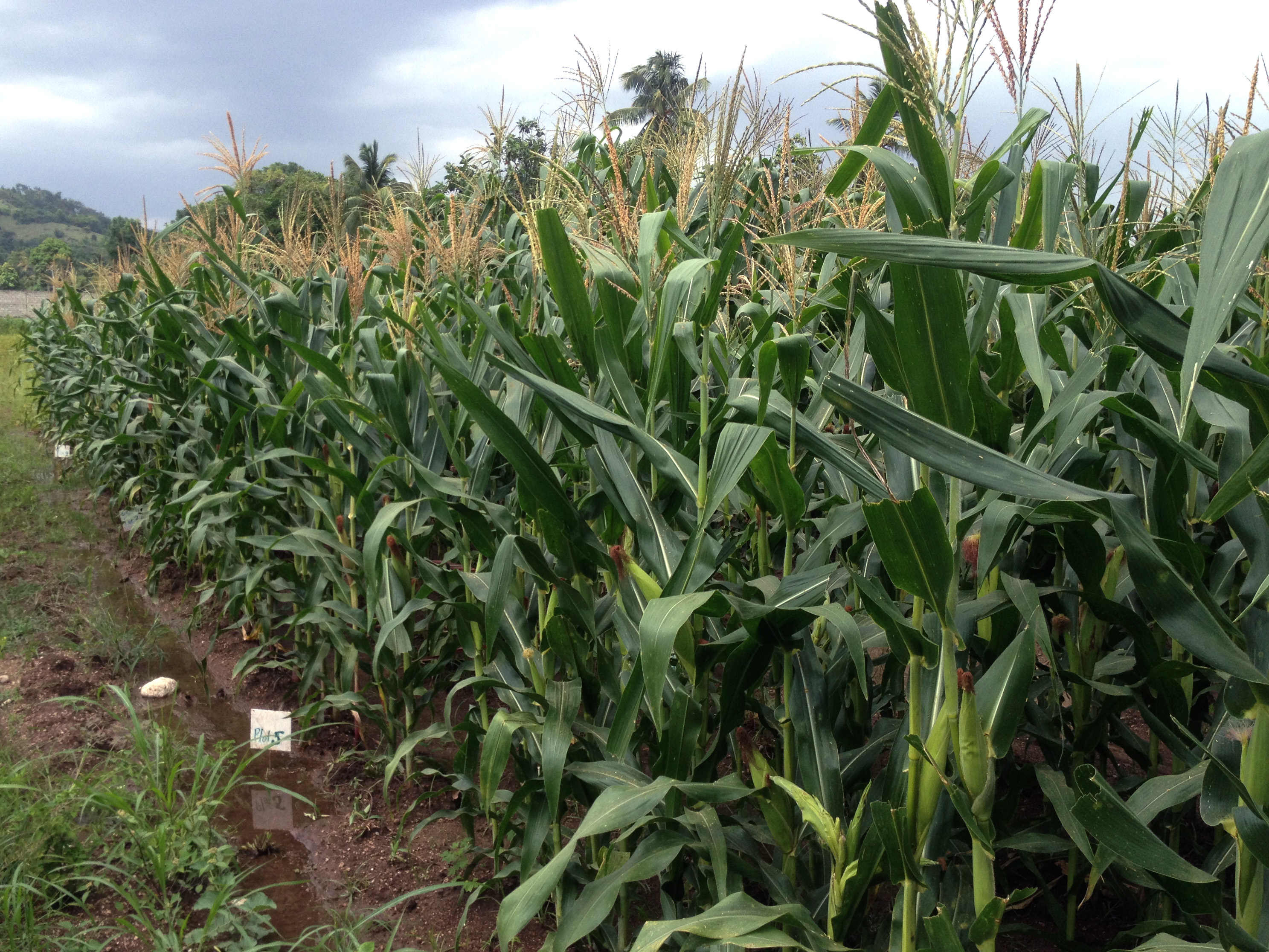 Hugo maize growing in Haiti. CIMMYT/Alberto Chassaigne