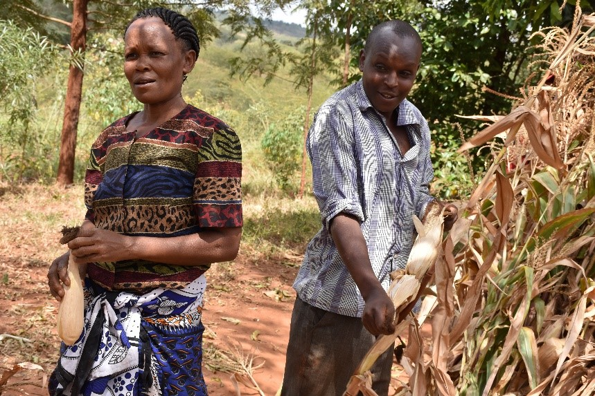 Mbula and her son Kivanga shell the cobs of KDV2 maize, an early maturing drought tolerant variety.