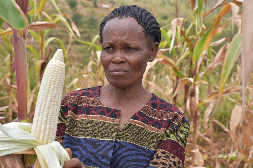 Mbula holds a full cob from the Drought Tego variety, expected to provide her and her family a successful harvest.