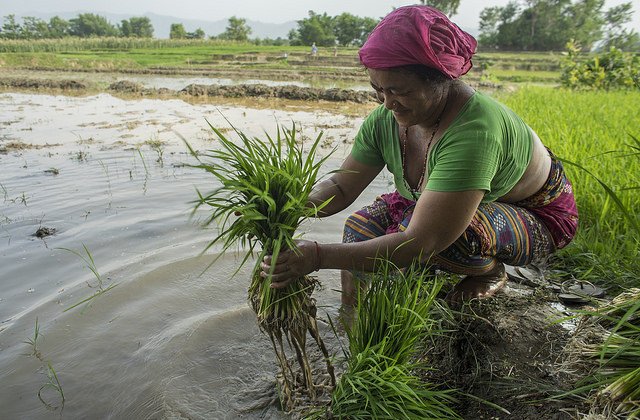 Farmer Bida Sen prepares rice seedlings for transplanting in Pipari, Dang. Photo: P. Lowe/CIMMYT