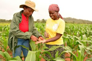CIMMYT maize breeder, Thokozile Ndhlea (left), inspects a maize trial field with smallholder farmer, Otilia Chirova, in Mashonaland East, Zimbabwe. Photo: Johnson Siamachira/CIMMYT