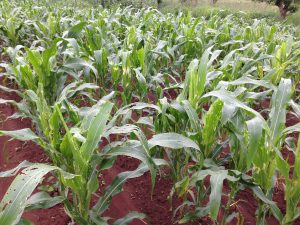Fall armyworm devastates maize in Africa. CIMMYT/Miriam Shindler
