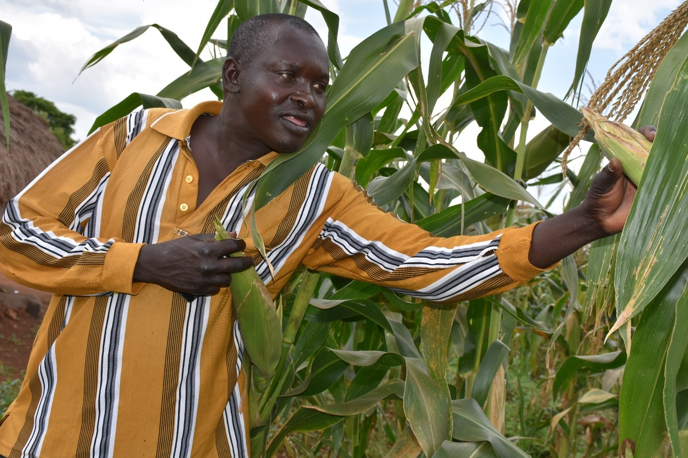 Olum looks at the WE2115 variety that has transformed his microfinance business. B.Wawa/CIMMYT