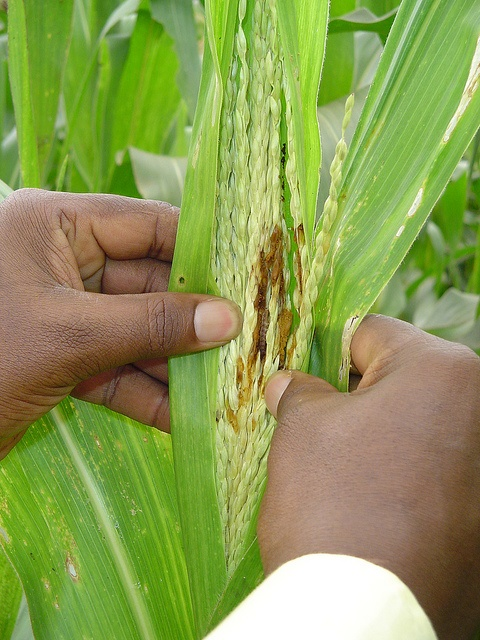 """A young maize tassel is opened up to reveal stem borers hidden inside, and damage caused by their feeding, in a farmer's field in Embu district, Kenya. Stem borers are a class of insect pest, made up of a number of moth species distributed around the world, which lay their eggs at night on the underside of emerging leaves of young maize plants. The larvae, or caterpillars, that hatch from the eggs - i.e. the borers - quickly make their way inside the plant, where they feed undisturbed by predators. Young larvae feed on foliar tissue in the whorl, leading to perforations in unfolding leaves, and potential destruction of the growing point, while older larvae burrow into the stem, where they starve the growing plant of nutrients and can cause lodging. They feed extensively on tassels, ears, and stems. Borers' stealthy habits make them one of the most damaging pests for maize in Africa, and yet virtually invisible to farmers, who tend to attribute the damage to their crops to more visible pests. """"Many farmers in Kenya don't even know their maize fields have a stem borer problem, yet these insects cost them some 400,000 tons in lost harvest each year,"""" says CIMMYT maize breeder Stephen Mugo. Chemical pesticides can control borers, but must be applied soon after planting, and are difficult for resource-poor farmers to afford. """"Even farmers who know about stem borers only notice the damage after it's too late for chemical control. A seed-based technology is what we need,"""" says Mugo. In ongoing research, CIMMYT is collaborating with the Kenya Agricultural Research Institute (KARI) to develop maize varieties that are resistant to stem borers, and to disseminate these to resource-poor smallholder farmers. """"Maize that resists stem borer damage would take the guesswork out of stem borer pesticide usage by eliminating it altogether,"""" says Mugo. The work is part of the Insect Resistant Maize for Africa (IRMA) project. For more information about stem borers in Kenya and CIMMY"""