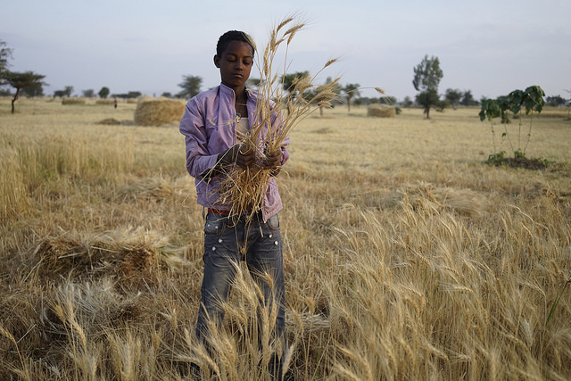 Agricultural scientists are calling on support to add zinc-biofortification as a core trait in the world's largest wheat breeding program. Photo:  CIMMYT/ Peter Lowe