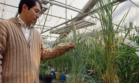 Through crosses of wheat with wild grasses that carry the BNI trait, Masahiro Kishii, CIMMYT wheat cytogeneticist, hopes in a few years to create high-yielding, BNI-enabled wheat varieties. Photo: CIMMYT