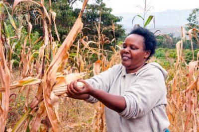 Sarah Nyamai, a farmer from Kalimoni Village in Machakos County, Kenya, harvests drought tolerant maize. Photo: B. Wawa/CIMMYT