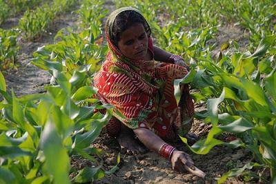 Farmer weeding maize field in Bihar, India. Photo: CIMMYT/M. DeFreese