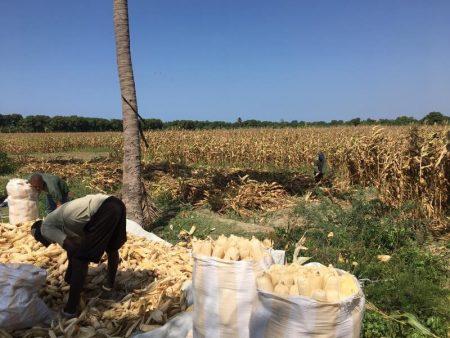 Hugo Plus on harvest day. Photo: L. Eugene/CIMMYT