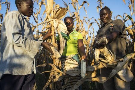 Village headman Boyd Jimba and his family harvest maize on their farm in Mwalimo village, Lundazi district, Zambia. Photo: P. Lowe/CIMMYT