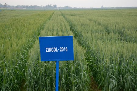 Zincol harvests as high as other widely grown wheat varieties, but its grain contains 20 percent more zinc, a critical micronutrient missing in the diets of many poor people in South Asia. Photo: Kashif Syed/CIMMYT