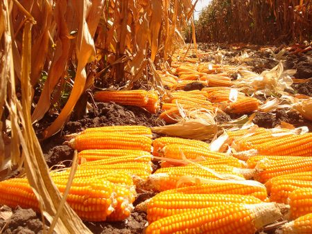 Provitamin A-enriched orange maize in Zambia. Photo: CIMMYT