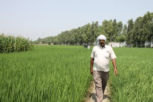 A farmer walks through his rice field in Taraori village in Karnal, Haryana, India. CIMMYT/M.L. Jat