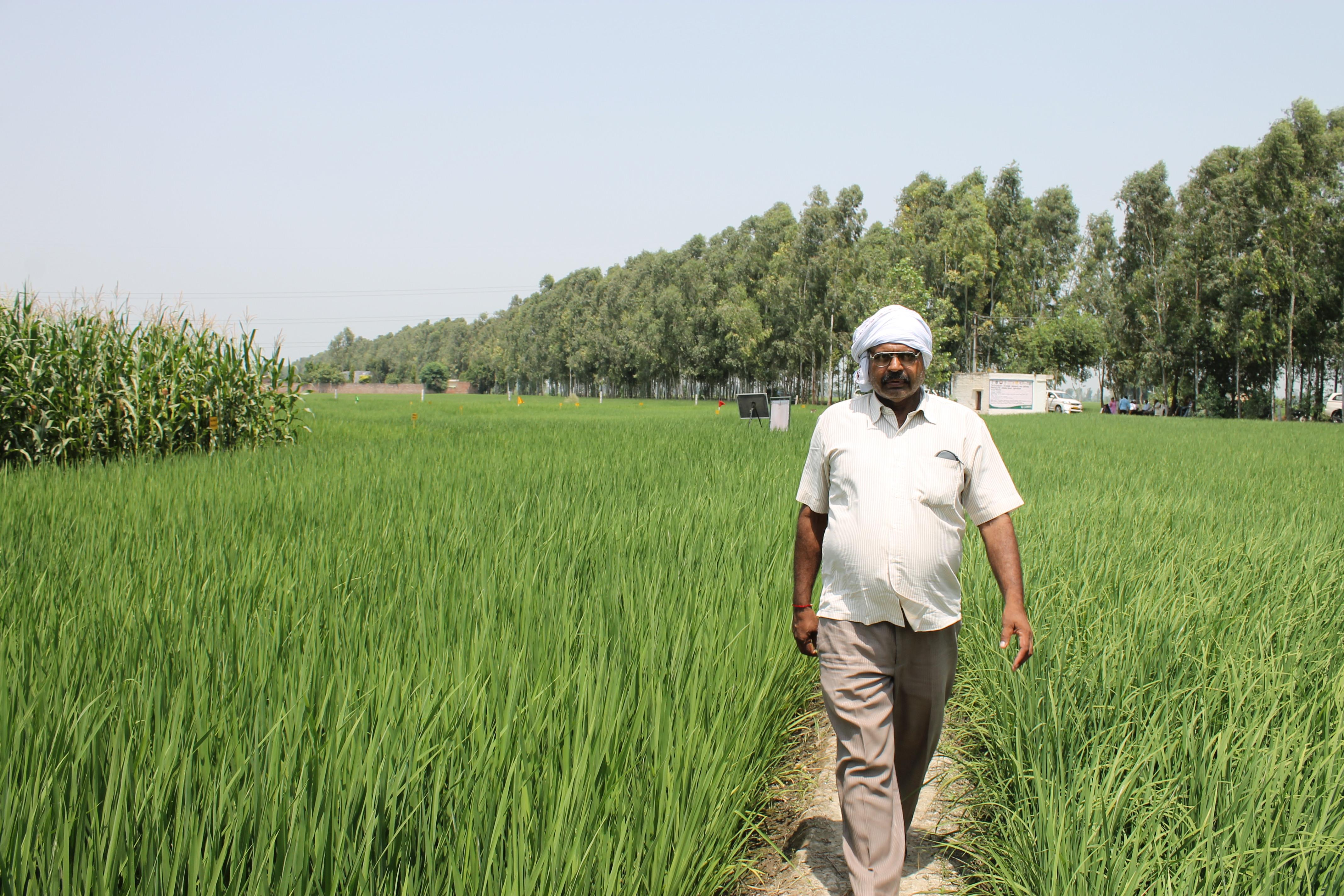 A farmer walks through his rice field in Taraori village in Karnal, Haryana, India. CIMMYT/M.L. Jat