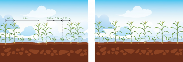 Arrangements of intercrops: Left, the MBILI system characterized by two rows of a legume alternating with two rows of maize. On the right is the commonly used intercropping arrangement with alternating rows of component crops, that is, one row of maize followed by one row of the legume.