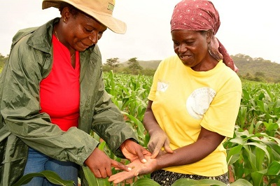 CIMMYT maize breeder Thokozile Ndhlela (left, and farmer Otilia Chirova of Mutoko district in Mashonaland East province, identifying the fall armyworm in Chirova's field in February. Chirova eventually lost almost half of her entire maize crop. Photo: J. Siamachira/CIMMYT.