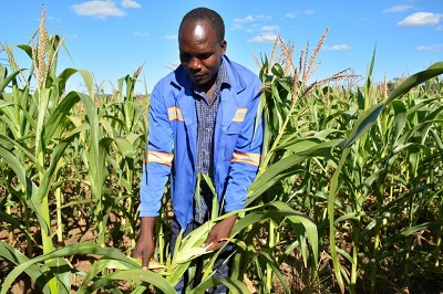 "Smallholder farmer Perkins Chimuriwo of Mashonaland East province inspects the fall army worm damage to his maize crop in March. ""I had expected to harvest 14 tons of maize on my two-hectare plot, but due to the fall armyworm, I've only harvested eight tons,"" said Chimuriwo. Photo: J. Siamachira/CIMMYT."