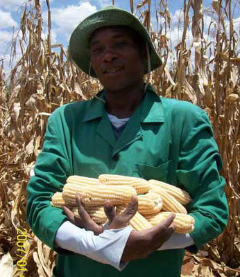 A Kenyan man holds a harvest of a genetically engineered (GE) maize at the Kari research station in Kiboko, Makueni County. Photo: Nation Media Group Kenya