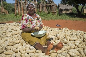 Farmer Joyce Mapeto shucks maize after harvesting her crop in in Pindukai village, Shamva district, Zimbabwe. Photo: Peter Lowe/CIMMYT