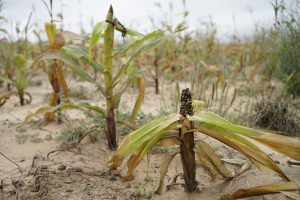 Drought susceptible maize variety devastated by drought in Mutoko district, Zimbabwe. Photo: Peter Lowe/CIMMYT