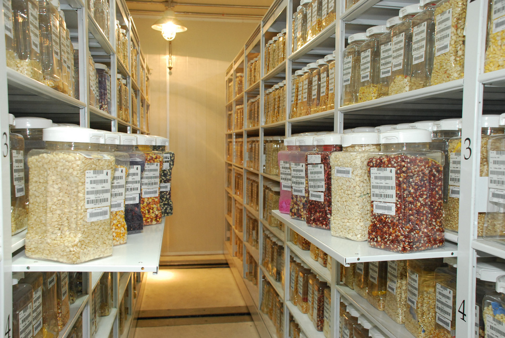 "Some of the thousands of samples that make up the maize active collection in the Wellhausen-Anderson Plant Genetic Resources Center at CIMMYT's El Batán headquarters, Mexico. The CIMMYT germplasm bank contains around 28,000 unique samples of maize seed—including more than 24,000 farmer landraces; traditional, locally-adapted varieties that are rich in diversity—and 140,000 of wheat, including related species for both crops. The bank both conserves this diversity and makes it available as a resource for breeding. The active collection for meeting requests is kept at -3 °C, while the duplicate base collection for long-term storage is at -18 °C.  Maize seed is stored in plastic jars, while aluminium envelopes are used for smaller wheat seed, and a sophisticated barcode system enables staff to keep track of the accessions. ""Disaster proof"" features of the bank include thick concrete walls and back-up power systems.  Photo credit: Xochiquetzal Fonseca/CIMMYT.  For more about the bank see: http://www.cimmyt.org/en/services/seed/wellhausen-anderson-plant-genetic-resources-center/the-facility."