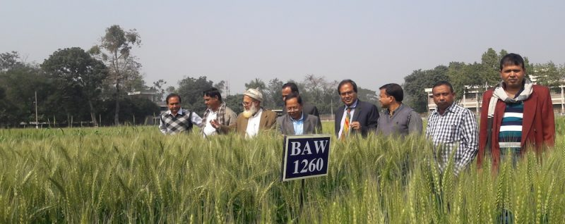 Members of National Technical Committee of NSB evaluating BAW 1260 in the field. Photo: CIMMYT