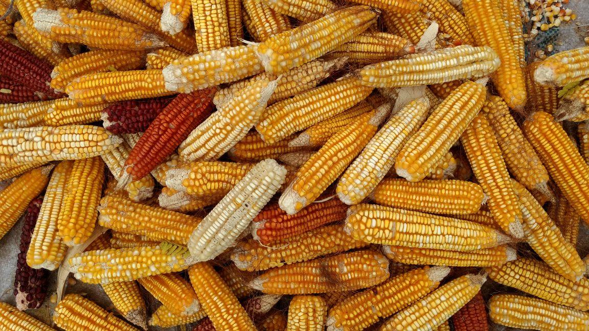Native maize diversity in the Yucatan peninsula. Photo: Maria Alvarado/ CIMMYT