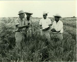Norman Borlaug trabajando con otros investigadores en el campo. Foto: Archivos del CIMMYT