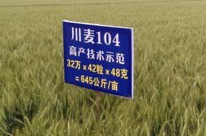 Chaunmai 42 at Zhongjiang. Photo: CIMMYT/Garry Rosewarne.