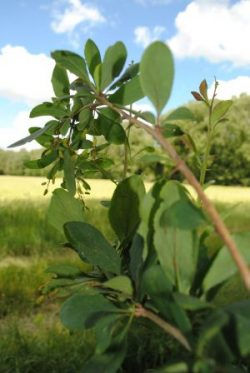 Barberry is a shrub found throughout the temperate and subtropical regions. Photo: CIMMYT archives