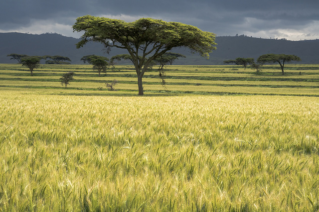 Naivasha, Kenya 2017. Photo: CIMMYT/ P.Lowe