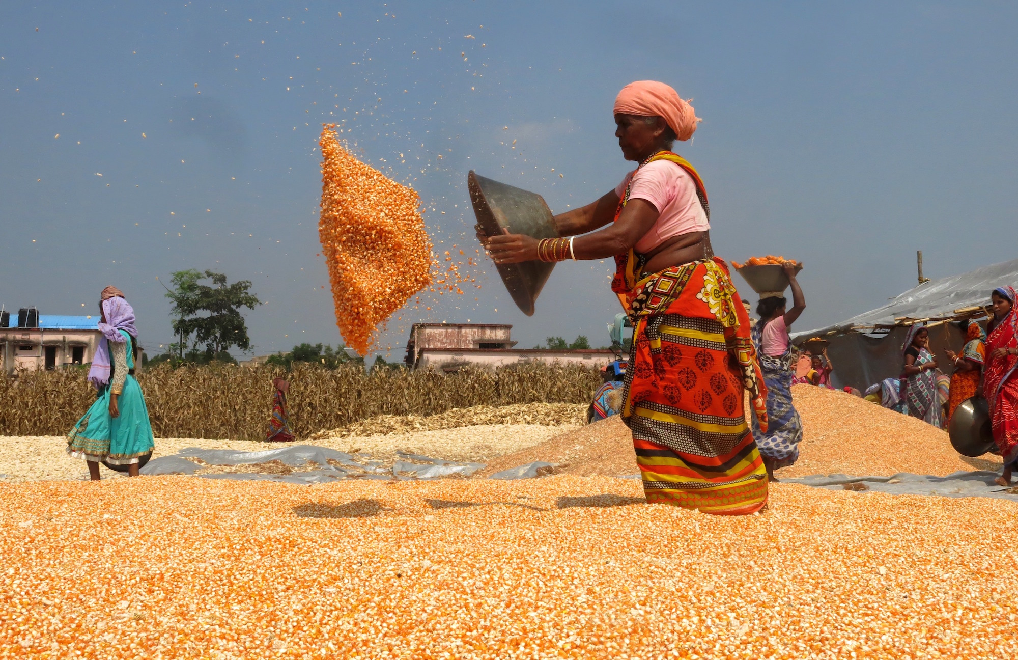 Drying of maize grain after shelling compressed