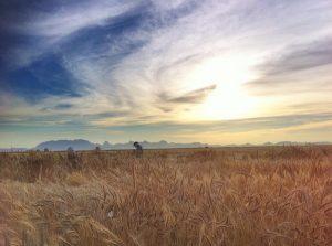 Campo Experimental Norman E. Borlaug (CENEB) en Ciudad Obregón, Sonora, Mexico. Foto: M. Ellis/CIMMYT.