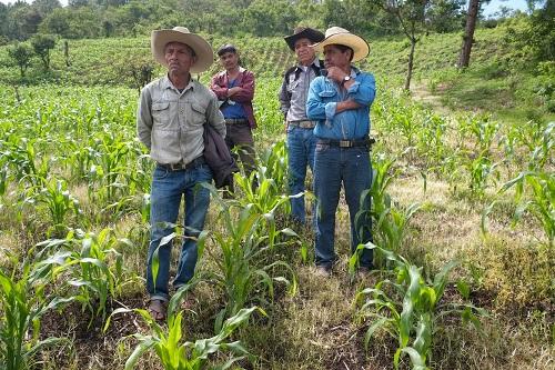 El agricultor Modesto Suárez (izq) y sus vecinos al principio dudaron en sembrar la variedad Oaxaca 280 en sus parcelas, pero al final les gustaron los resultados. Foto: Matthew O'Leary