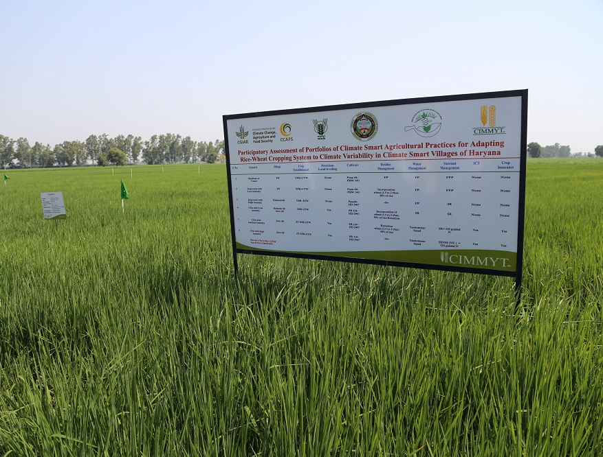 Participatory experimental field in Beernarayana climate smart village. Photo: CIMMYT.