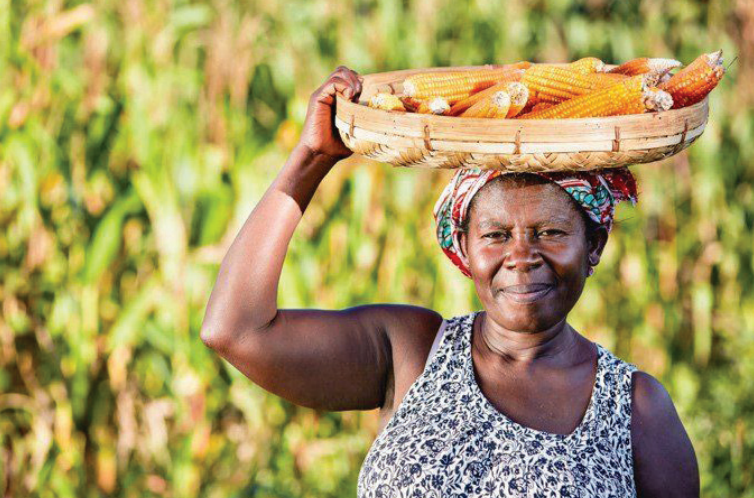 Female farmer carries maize cobs from the field.