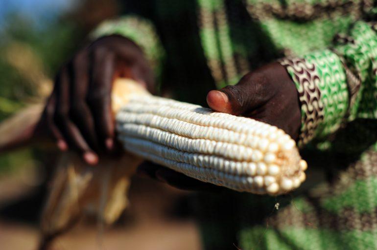 maize-770x512