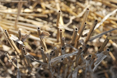 Wheat residues on an experimental plot under conservation agriculture. Photo: X. Fonseca/CIMMYT.