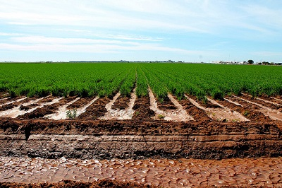 Irrigated wheat field. Photo: S. Sukumaran/CIMMYT.