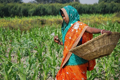 A farmer at work weeding in a maize field close to the Pusa site of the Borlaug Institute for South Asia (BISA), in the Indian state of Bihar. Photo: M. DeFreese/CIMMYT.