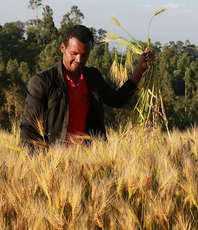 Ethiopian wheat farmers like Abebe Abora, of Doyogena, have benefitted from adopting high-yielding wheat varieties but face threats from fast mutating races of wheat rust disease pathogens. Photo: CIMMYT/Apollo Habtamu.